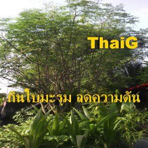 ต้นมะรุม ใบมะรุม ลดความดันได้จริง